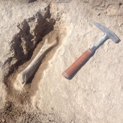 Úmero escavado no leste do Oregon, na região da Reserva Indígena Umatilla.